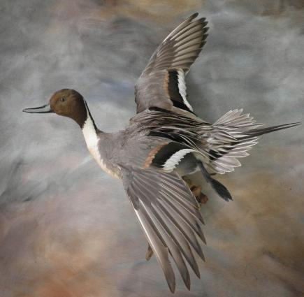 North texas waterfowl taxidermynorth texas taxidermy north texas wild wings taxidermybull sprig sciox Choice Image